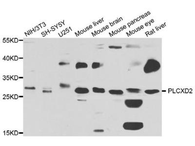 PLCXD2 Polyclonal Antibody