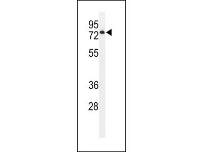ENPP7 Antibody (Center)