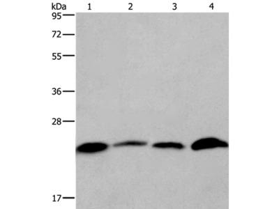 CMTM6 Antibody