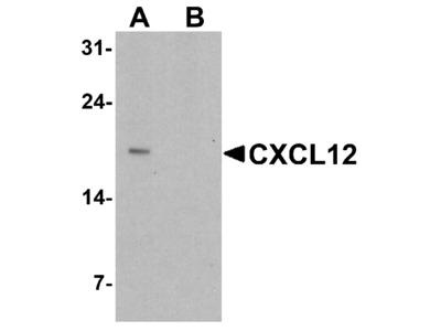 CXCL12 Antibody