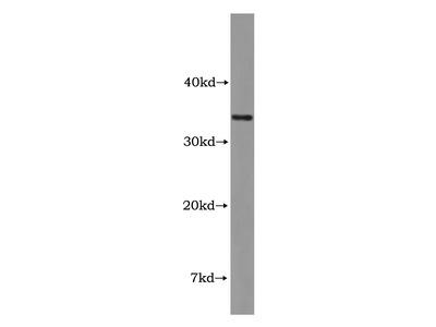 DBP Antibody