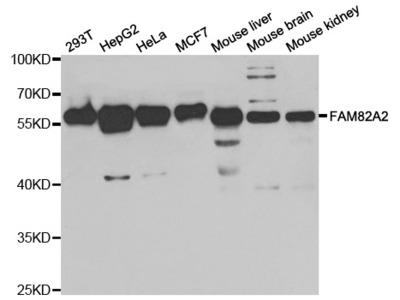 FAM82A2 Antibody