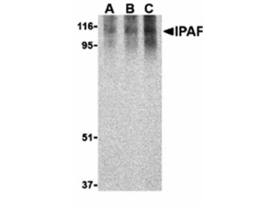 Ipaf Antibody