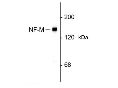 MOUSE ANTI RAT NEUROFILAMENT M (C-TERMINAL)