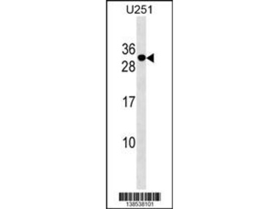 POMZP3 Antibody (N-term)