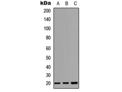Anti-CD269 Antibody