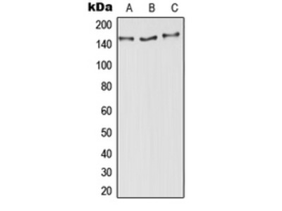 Anti-Aldehyde Oxidase Antibody