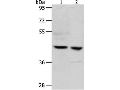 S1PR5 Antibody
