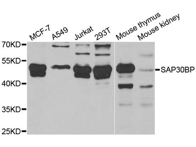 SAP30BP Polyclonal Antibody