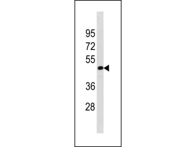 TAF7L Antibody (N-term)