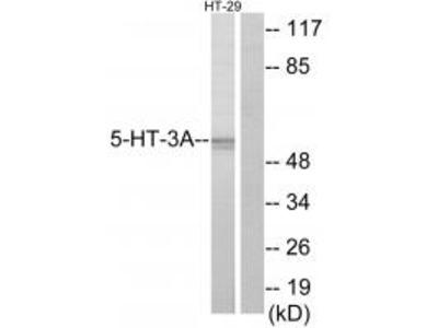 5-HT-3A Antibody