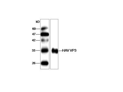 Anti-HAV VP3 Antibody