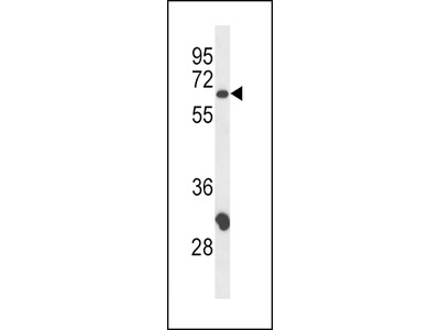 CD4 Antibody (N-term)