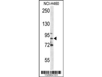 MPO Antibody (C-term)