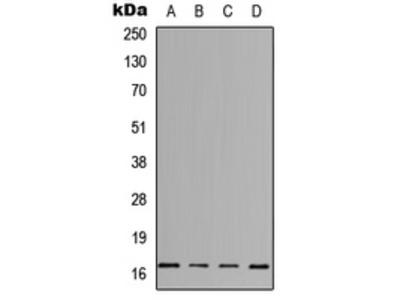 Anti-IL-3 Antibody