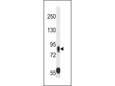MUPCDH Antibody (N-term)