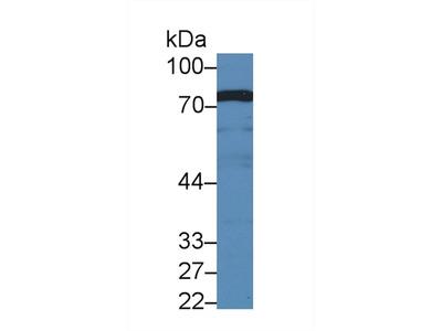 Polyclonal Antibody to BMP Binding Endothelial Regulator (BMPER)