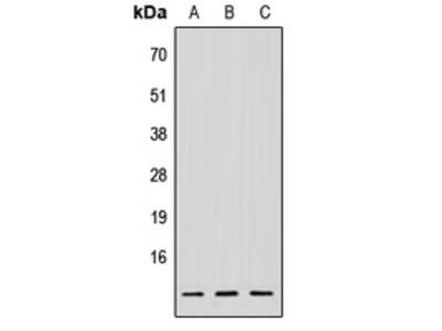 Anti-NDUFV3 Antibody
