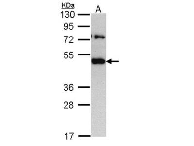 TRAM1 antibody