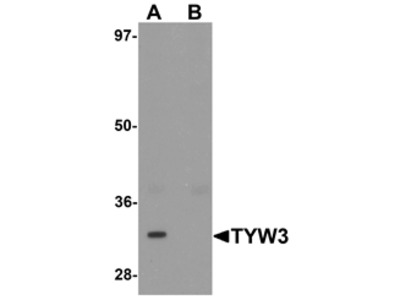 TYW3 Antibody