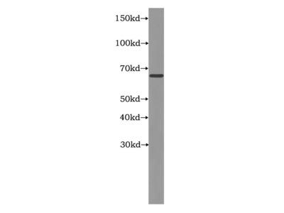 LARP7 Antibody