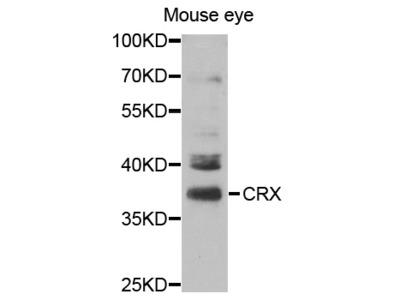 CRX Antibody