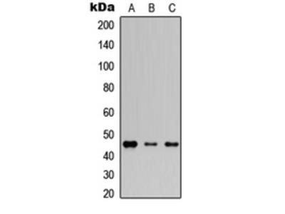 Anti-Connexin 46 Antibody