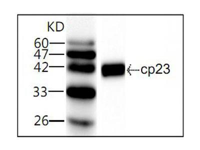 CP23 antibody