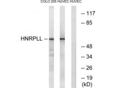 HNRPLL Antibody