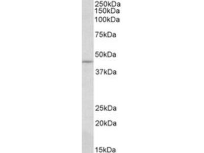 Goat anti-CREB3 (aa76-87) Antibody