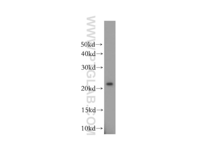 OBFC2A antibody