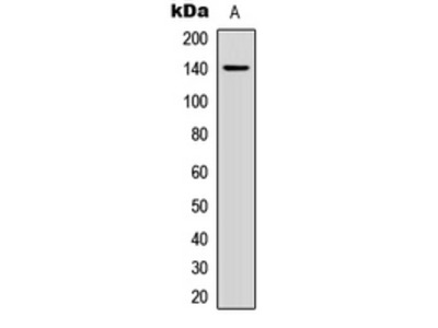 Anti-Collagen 2 alpha 1 Antibody
