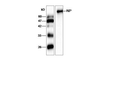 Anti-AIV NP Antibody