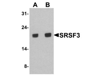 SRSF3 Antibody