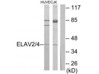 ELAV2/4 Antibody
