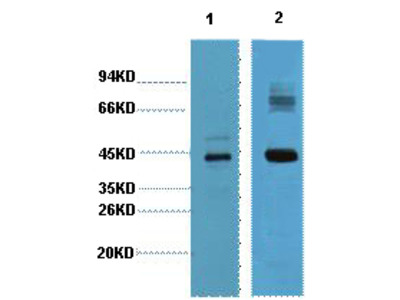 AMACR Monoclonal Antibody