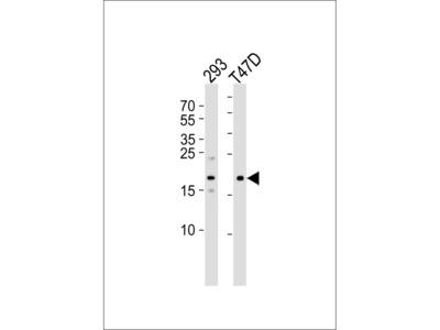 LC3 Antibody (APG8C) (N-term)
