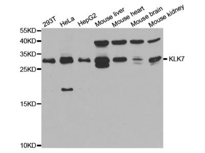 KLK7 Antibody