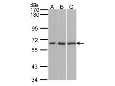 QIP1 antibody