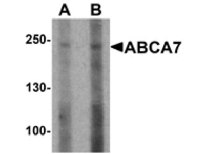 ABCA7 Antibody