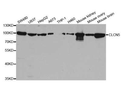 CLCN5 Antibody
