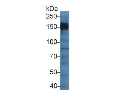 Polyclonal Antibody to Protein Tyrosine Phosphatase Receptor Type C (PTPRC)