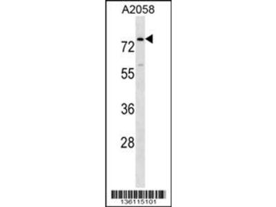 BCAS1 Antibody (N-term)