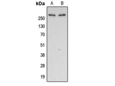Anti-Filamin A (pS2152) Antibody