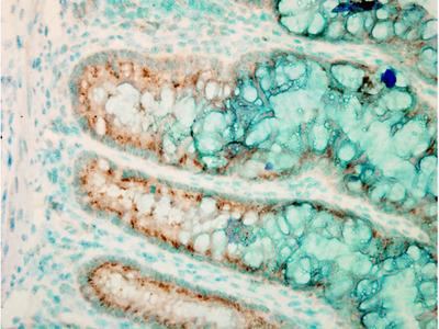 TLR4 Antibody: Streptavidin