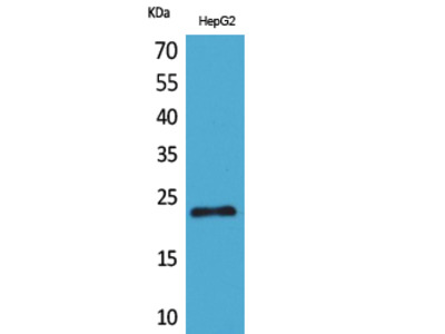 SNAP 23 Polyclonal Antibody