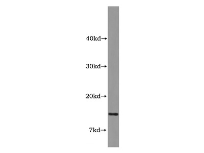 COX7A2L Antibody