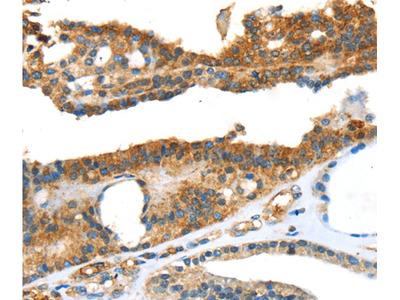 SNAI3 Antibody