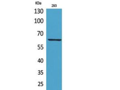 IL-18R Polyclonal Antibody