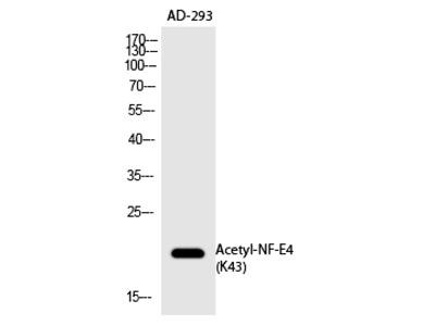 NF-E4 (Acetyl-Lys43) Polyclonal Antibody